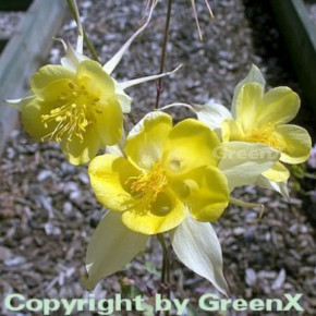 Akelei Yellow Queen - Aquilegia chrysantha