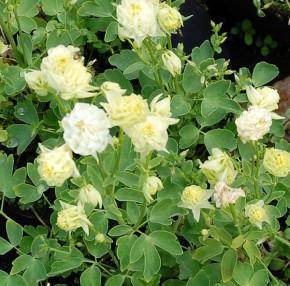 Garten-Akelei Winky White - Aquilegia vularis