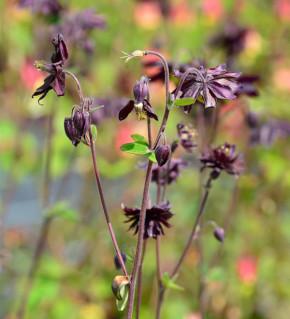 Akelei Black Barlow - Aquilegia vulgaris