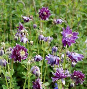 Akelei Christa Barlow - großer Topf - Aquilegia vulgaris