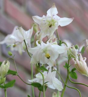 Akelei White Barlow - Aquilegia vulgaris