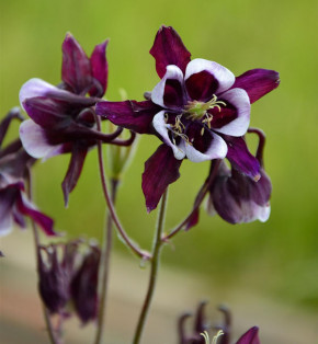 Akelei William Guiness - Aquilegia vulgaris