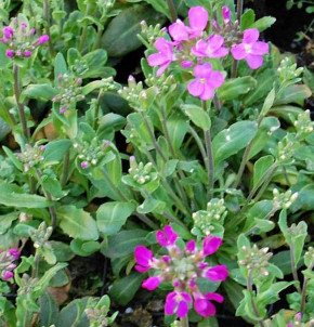 Garten Gänsekresse Frühlingszauber - Arabis blepharophylla