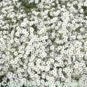 Sandkraut - Arenaria montana