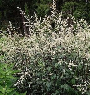 Chinabeifuss Guizhou - Artemisia lactiflora