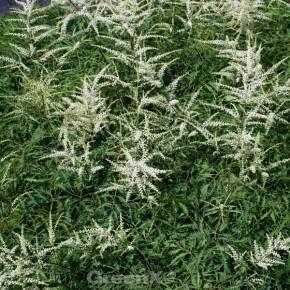 Wald Geißbart Elegance - Aruncus dioicus
