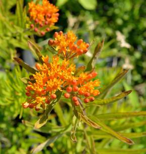Seidenpflanze Orange - Asclepias incarnata