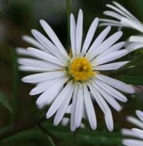 Glattblattaster White Lady - Aster novi belgii