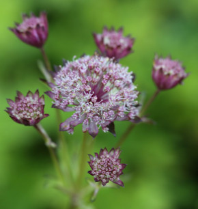 Sterndolde Hadspen Blood - Astrantia major