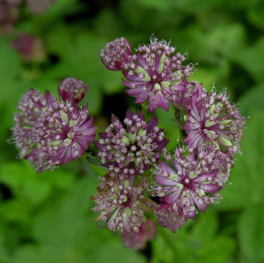 Sterndolde Lars - Astrantia major