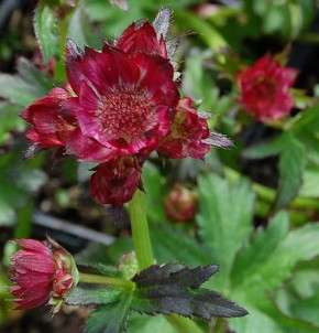 Sterndolde Moulin Rouge - Astrantia major