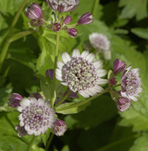 Sterndolde Rosea - Astrantia major