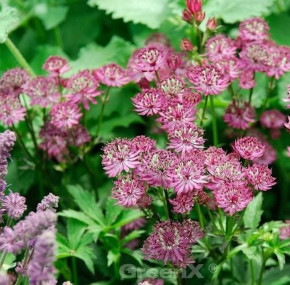 Sterndolde Ruby Cloud - Astrantia major