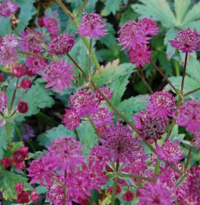 Sterndolde Ruby Wedding - Astrantia major