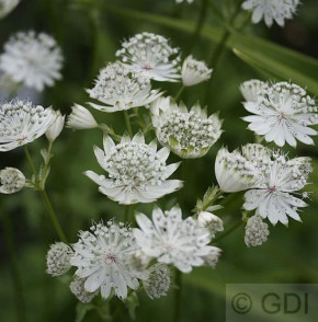 Sterndolde Shaggy - Astrantia major