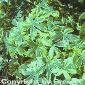 Sterndolde Sunningdale Variegata - Astrantia major