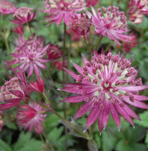 Sterndolde Venice - Astrantia major