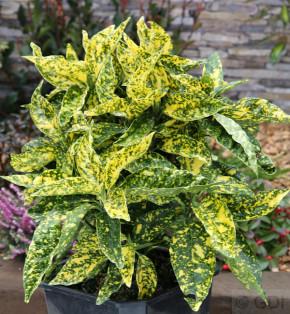 Japanische Aucube Crotonifolia 30-40cm - Aucuba japonica