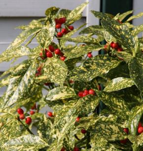 Japanische Aucube Variegata 25-30cm - Aucuba japonica Variegata