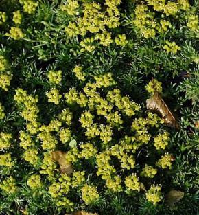 Andenpolster Nana - Azorella trifurcata