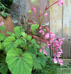 Japan Schiefblatt - Begonia grandis