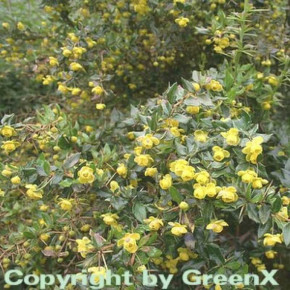 Berberitze Verrucandi 30-40cm - Berberis frikartii