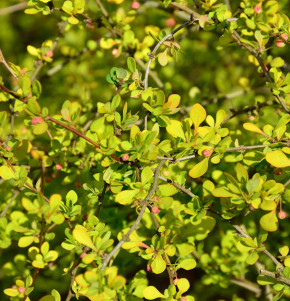 Gelbe Zwergbeberitze 30-40cm - Berberis thunbergii