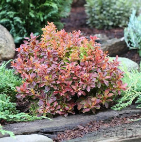 Beberitze Golden Ring 20-25cm - Berberis thunbergii