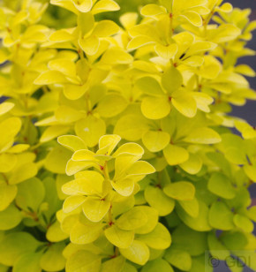 Goldberberitze Maria® 25-30cm - Berberis thunbergii