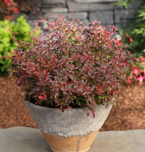 Beberitze Orange Dream® 20-30cm - Berberis thunbergii