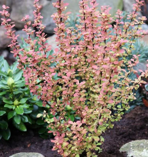 Berberitze Orange Rocket® 20-30cm - Berberis thunbergii