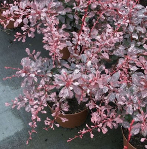 Beberitze Pink Queen 20-30cm - Berberis thunbergii