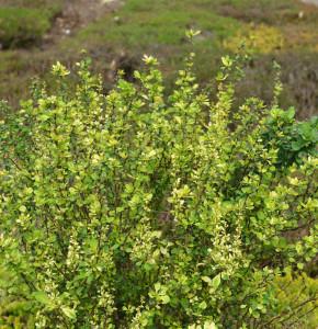 Beberitze Powwow 40-50cm - Berberis thunbergii