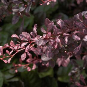 Beberitze Rose Glow 30-40cm - Berberis thunbergii