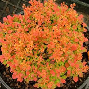 Beberitze Ruby Star® 20-25cm - Berberis thunbergii