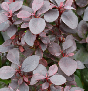 Beberitze Summer Chocolate® 25-30cm - Berberis thunbergii