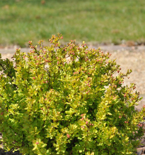 Berberitze Summer Sunset® 25-30cm - Berberis thunbergii