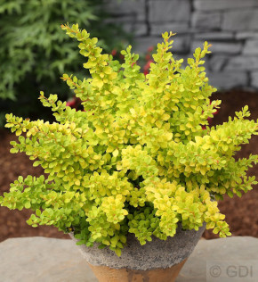 Beberitze Sunsation 20-25cm - Berberis thunbergii