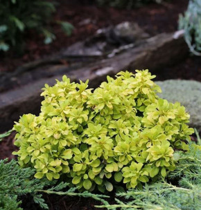 Beberitze Tiny Gold® 15-20cm - Berberis thunbergii