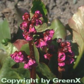 Bergenie Winterglut - Bergenia cordifolia