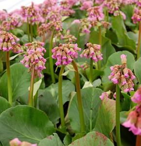 Bergenie Admiral - Bergenia cordifolia