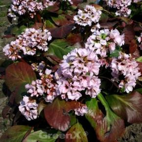 Bergenie Biedermeier - Bergenia cordifolia