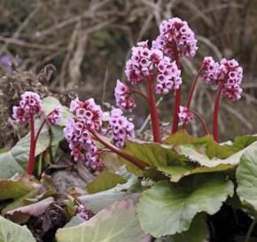 Bergenie Ouverture - Bergenia cordifolia