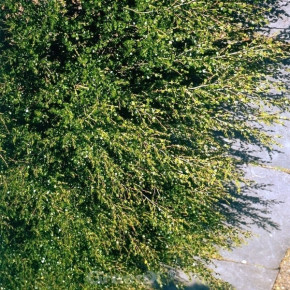 Polarbirke Zwergbirke 40-60cm - Betula nana