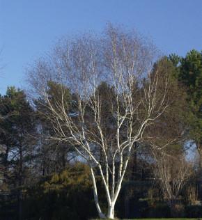 Weißrindige Himalaja-Birke Grayswood Ghost 80-100cm - Betula utilis