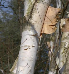 Weißrindige Himalaja-Birke 100-125cm - Betula utilis