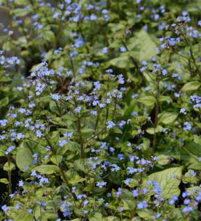 Kaukasus Vergißmeinnicht Looking Glas - Brunnera macrophylla