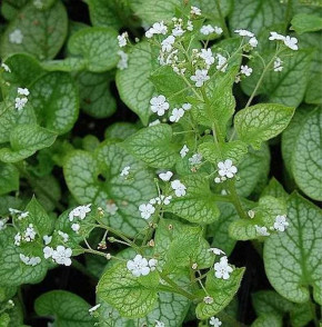 Kaukasus Vergißmeinnicht Mr Morse - Brunnera macrophylla