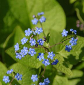 Kaukasus Vergißmeinnicht - Brunnera macrophylla