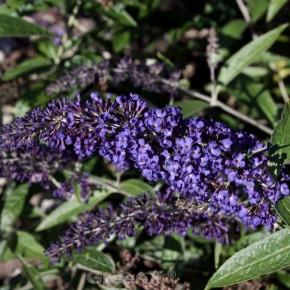 Zwerg Schmetterlingsstrauch Blue Chip Jr. 80-100cm - Buddleja